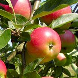apple-tree-worcester-pearmain-malus-domestica[1]